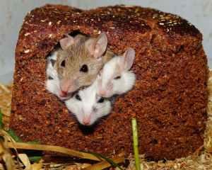 mastomys-mice-nager-rodents-55840.jpeg